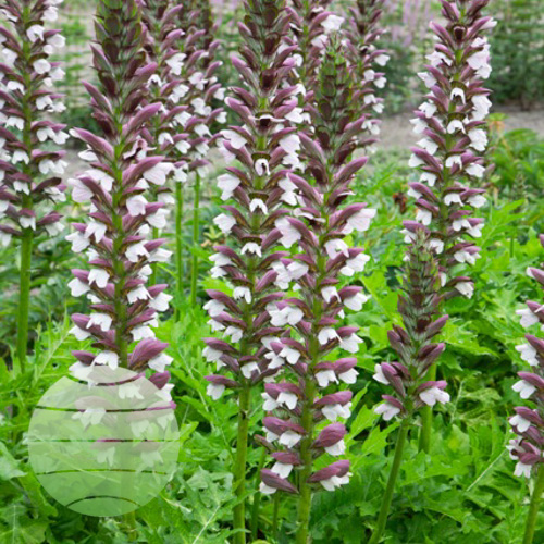 Acanthus hungaricus White Lips 1