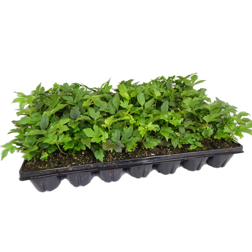 Walter Blom Plants BV Plugs