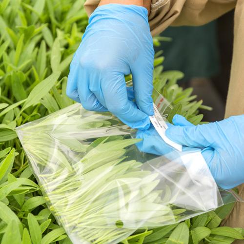 Walter Blom Plants Cuttings