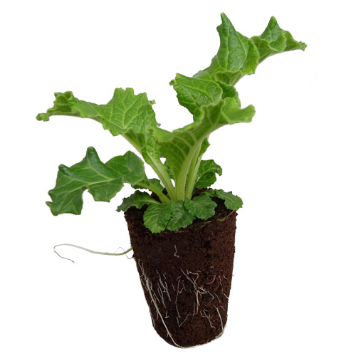 Walter Blom Plants Plugs