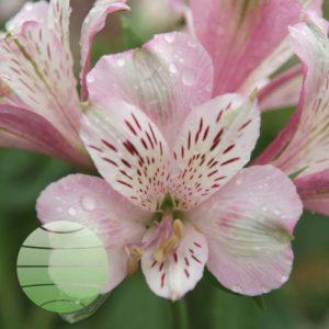 Walter Blom Plants ALSTROEMERIA Duke FRANCOIS