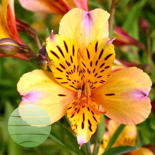 Walter Blom Plants ALSTROEMERIA Majestic Layon