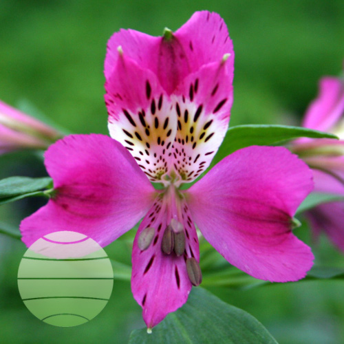 Walter Blom Plants ALSTROEMERIA Majestic Montsoreau