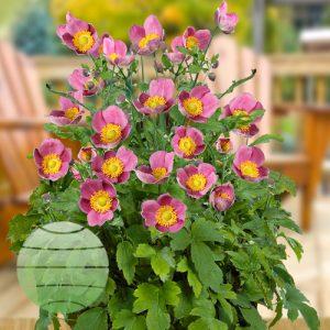 Walter Blom Plants ANEMONE Pretty Lady Diana