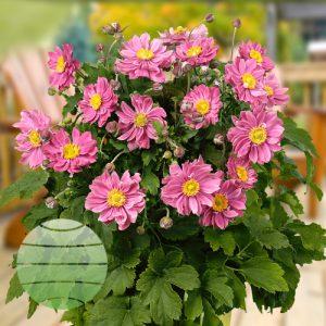 Walter Blom Plants ANEMONE Pretty Lady Emily