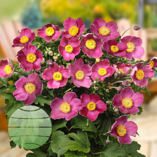 Walter Blom Plants ANEMONE Pretty Lady Susan