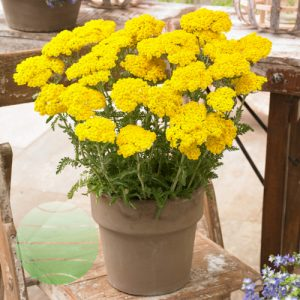 Achillea Little Moonshine