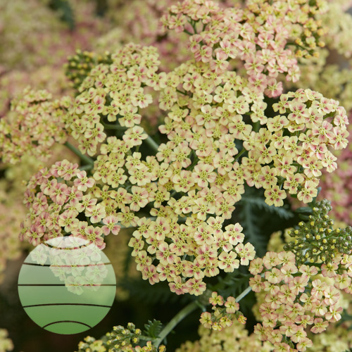 Achillea Peachy Seduction