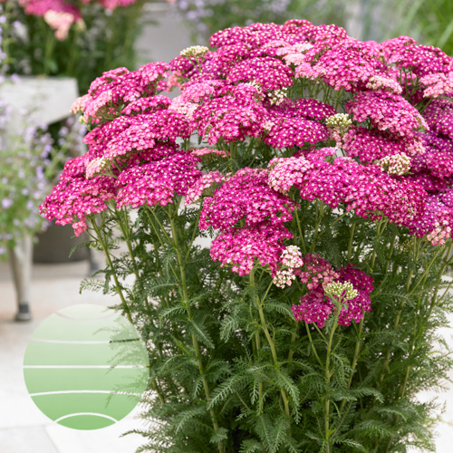Walter Blom Plants Achillea Saucy Seduction