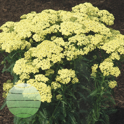 Achillea Sunny Seduction FP