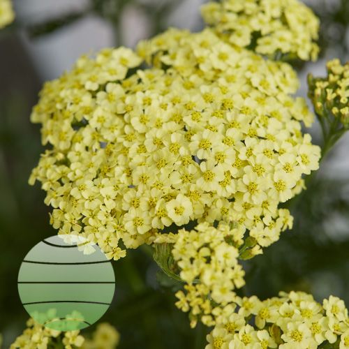 Walter Blom Plants Achillea Sunny Seduction