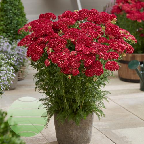 Achillea Pomegranate