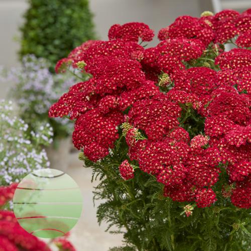 Walter Blom Plants Achillea Pomegranate