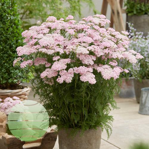 Walter Blom Plants Achillea Wonderful Wampee