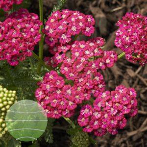 Walter Blom Plants - Achillea_Ritzy Rose