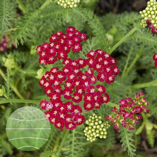 Walter Blom Plants Achillea Ritzy Ruby