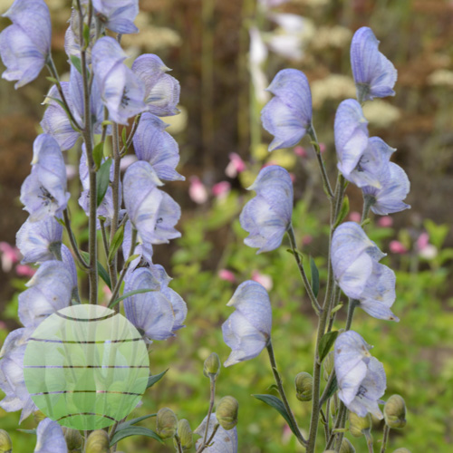 Aconitum Stainless Steel 2017 d