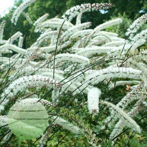 Walter Blom Plants Actaea matsumurae White Pearl