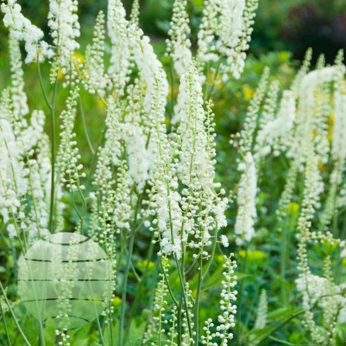 Walter Blom Plants Actaea racemosa
