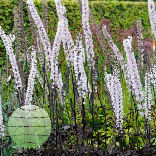 Walter Blom Plants Actaea James Compton