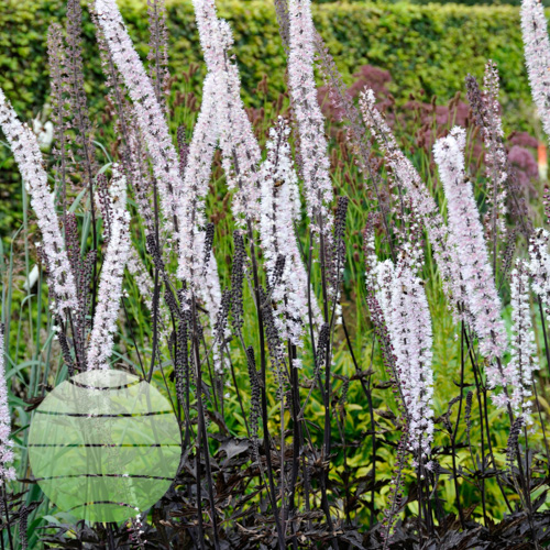 Walter Blom Plants Actaea James Compton