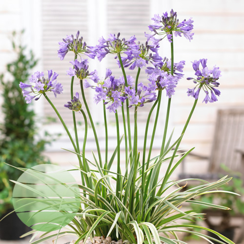 Walter Blom Plants Agapanthus Silver Moon