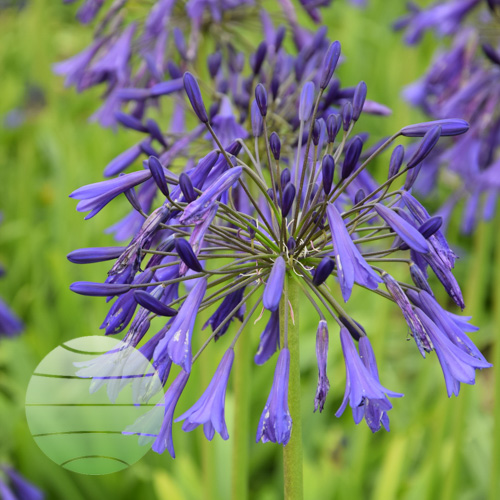Agapanthus Evening Eclipse 3