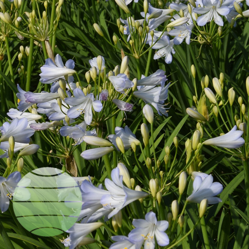 Agapanthus Silver Baby 8c