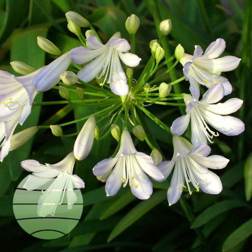 Walter Blom Plants Agapanthus Silver Baby