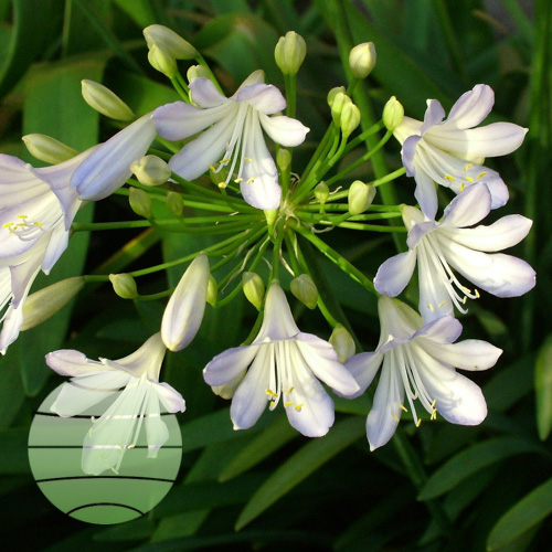 Agapanthus Silver Baby flower ball (1 of 39)
