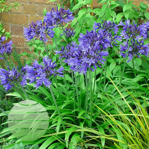 Agapanthus Star Dust (code Midnight) group