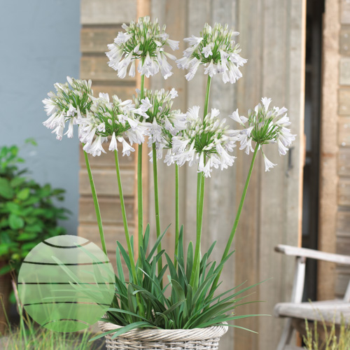 Walter Blom Plants Agapanthus inapertus Silver Lining