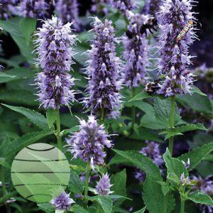 Walter Blom Plants Agastache Blue Fortune