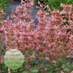 Walter Blom Plants Agastache Kudos Ambrosia