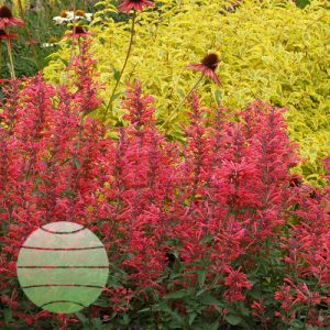 Walter Blom Plants Agastache Kudos Coral