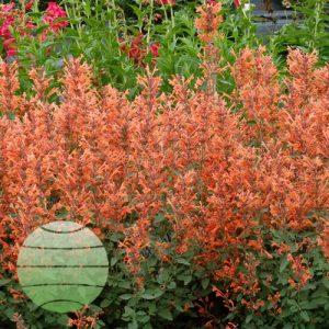 Walter Blom Plants Agastache Kudos Mandarin