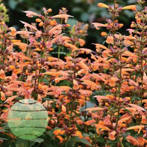 Walter Blom Plants Agastache Mango Tango