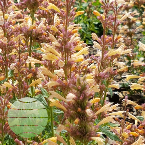 Walter Blom Plants Agastache Peachie Keen