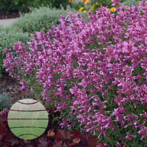 Walter Blom Plants Agastache Rosie Posie