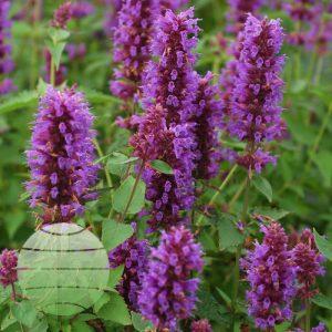 Walter Blom Plants Agastache Blue Boa