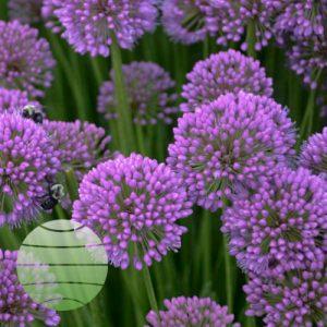 Walter Blom Plants Allium Millenium