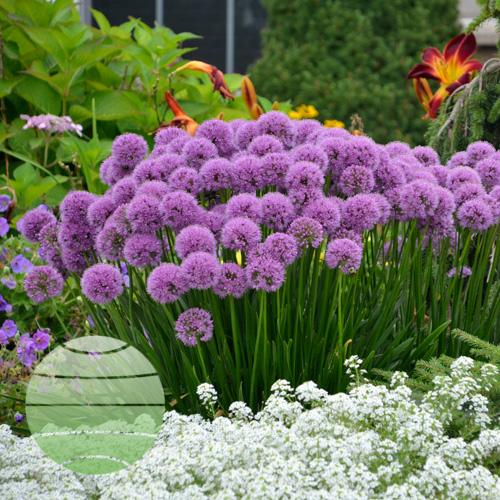 Allium Millenium WG 46