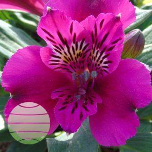 Walter Blom Plants Alstroemeria Compact Léonie
