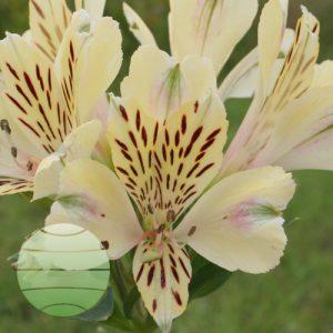 Walter Blom Plants Alstroemeria Compact Noah
