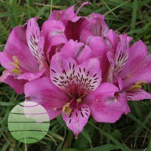 Walter Blom Plants Alstroemeria Compact Oceane