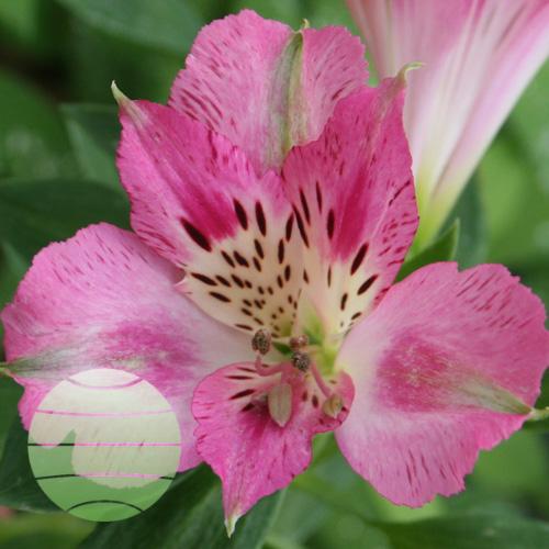 Walter Blom Plants Alstroemeria Compact Rosie