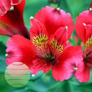 Walter Blom Plants Alstroemeria Duchess Diane