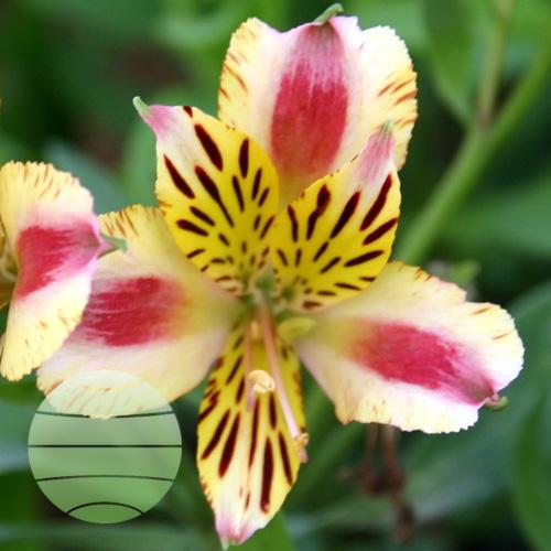 Walter Blom Plants Alstroemeria Duchess Marguerite
