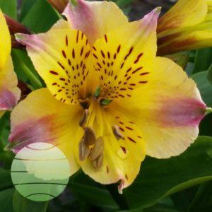 Walter Blom Plants Alstroemeria Duchess Marie