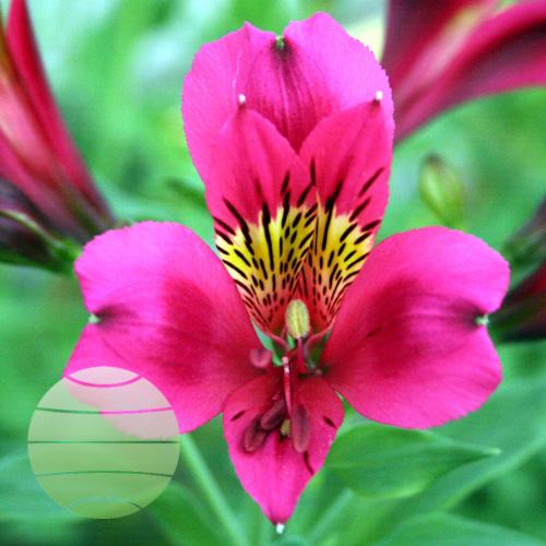 Walter Blom Plants Alstroemeria Duke Arthur